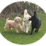 German Shepherds and Wheaten Terrier