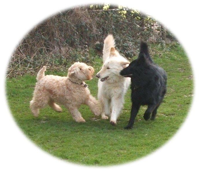 German Shepherds and Wheaten Terrier